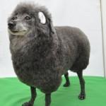 トイプードル 羊カット