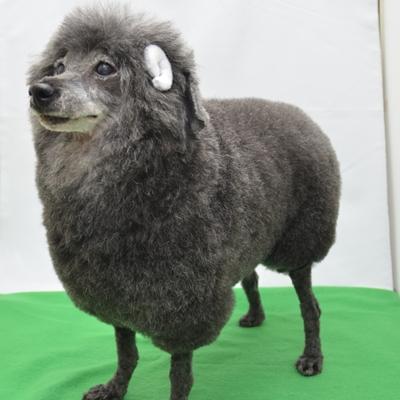 プードル 羊カット